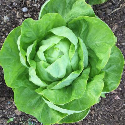 Lettuce Grown At Vallis Veg