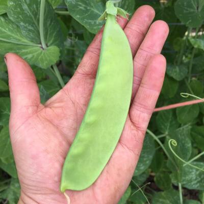 Giant Sugar Peas Grown At Vallis Veg