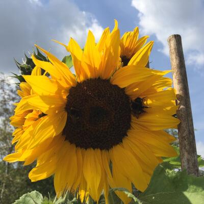 Sunflower Bunch Grown At Vallis Veg