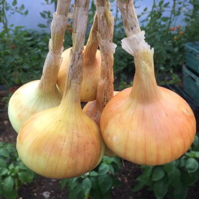 Onions Grown At Vallis Veg