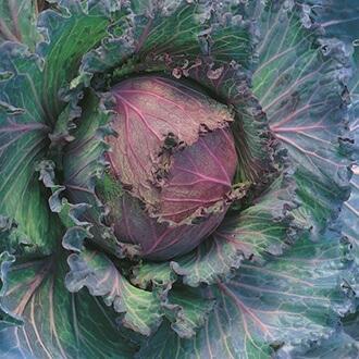 Organic January King Cabbage Grown In Somerset