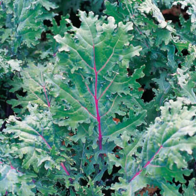 Organic Red Russian Kale Grown In Somerset
