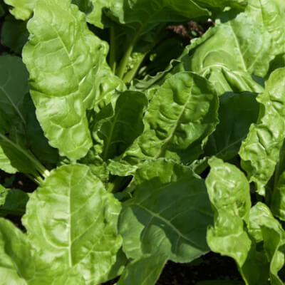Perpetual Spinach Grown At Vallis Veg