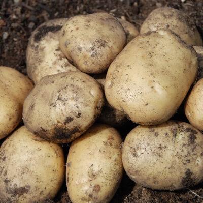Organic White Potatoes Grown In The U.K.