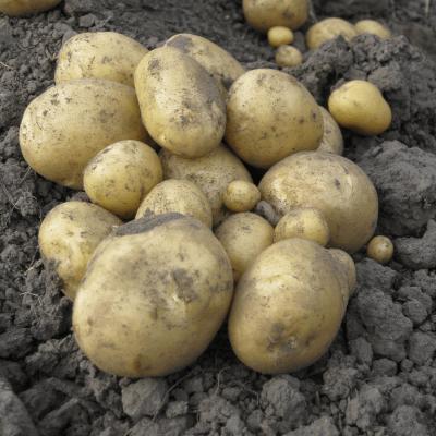 Organic New Potatoes Grown In Wiltshire