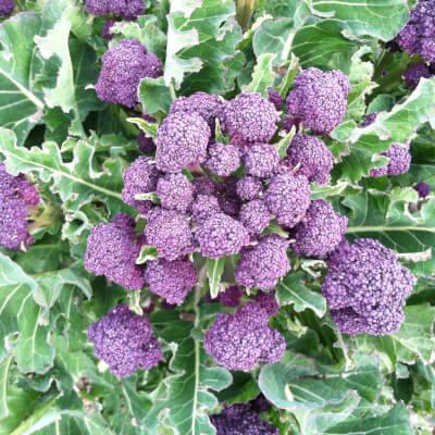 Organic Purple Sprouting Broccoli Grown In The U.K.
