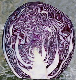 Organic Red Cabbage Grown In The U.K.