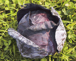 Organic Red Cabbage Grown In Somerset