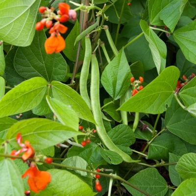 Runner Beans Grown At Vallis Veg