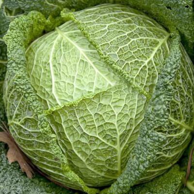 Organic Savoy Cabbage Grown In The U.K.