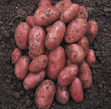 Organic Red Potatoes Grown In Lancashire