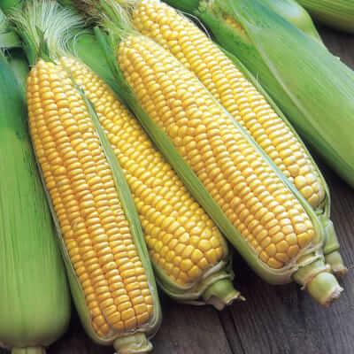 Organic Sweetcorn Grown In The U.K.
