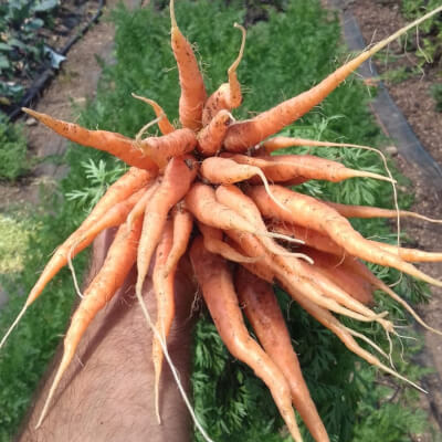 Carrots Grown At Vallis Veg