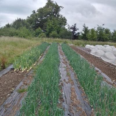 Fresh Green Onions Grown At Vallis Veg