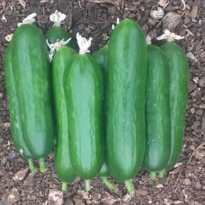 Mini Cucumbers Grown At Vallis Veg