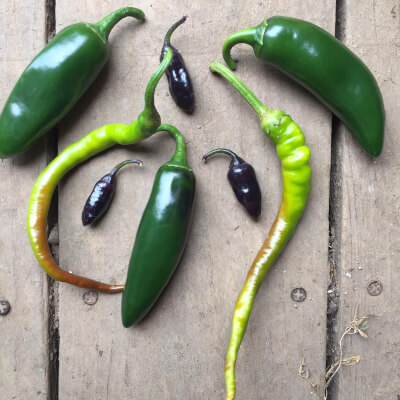 Chillies Grown At Vallis Veg