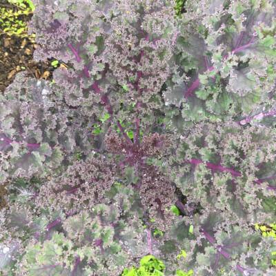 Red Curly Kale Grown At Vallis Veg
