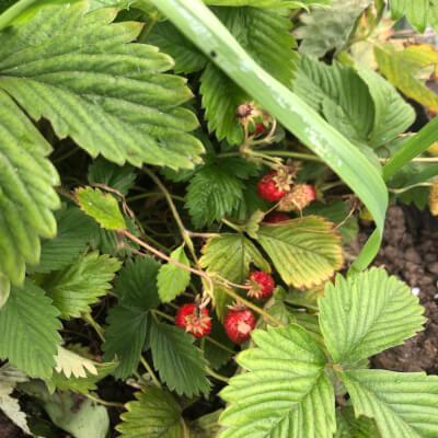 Alpine Strawberries Plant