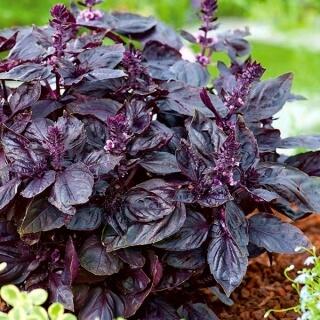 Basil Red Rubin Plant