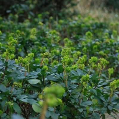 Euphorbia  - Rob's Spurge