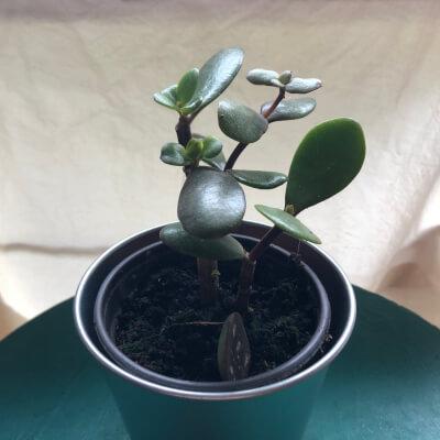 Jade (Money) Plant