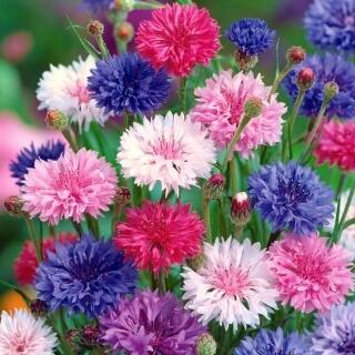 Mixed Cornflower