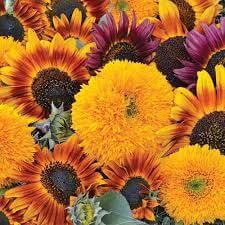 Sunflower - Mix