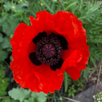 Perennial Red Poppy