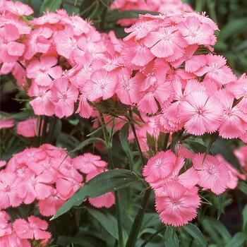 Sweet William Newport Pink