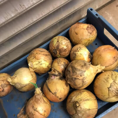 Onions From Nethermyres Farm 1Kg