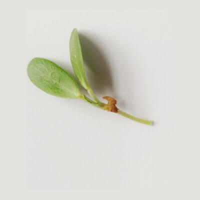 Micro Fenugreek