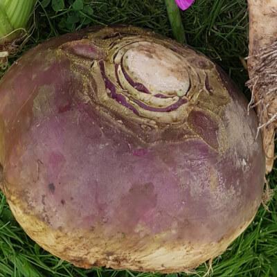 Turnip / Swede - Large