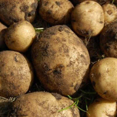 New Potatoes - Queens
