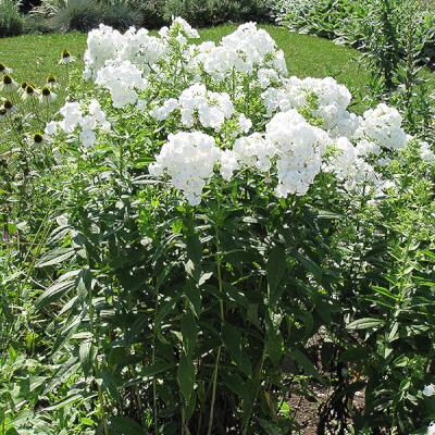 Fragrant Phlox Paniculata 'David'
