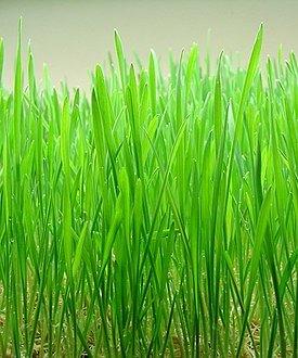 Wheat Grass 50G