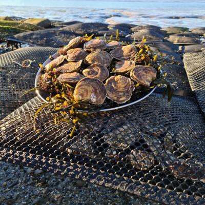 Native Wild Irish Oysters