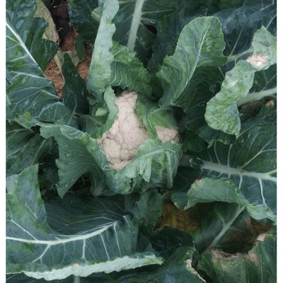 Cauliflower (Holland)