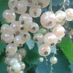 Whitecurrants