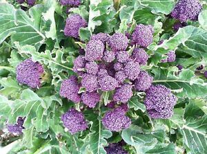 Purple Sprouting Broc