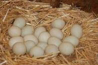 Very Free Range Ducks' Eggs.