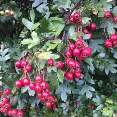 Oriental Hawthorn Berries
