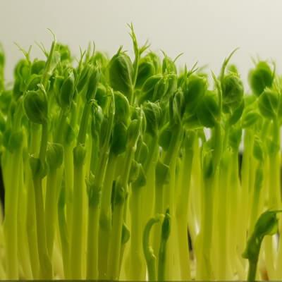 Microgreens - Perfect Peas (Single Variety)