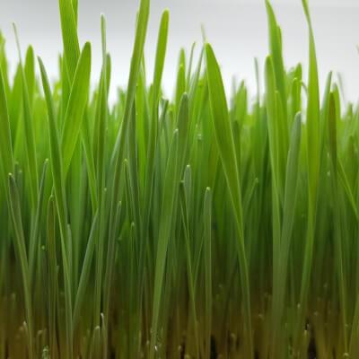 Microgreens - Gym Bunny & Yoga Master Spelt Wheatgrass (Fresh Leaf)