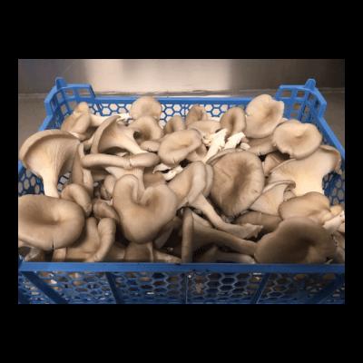 Grey Oyster Mushrooms