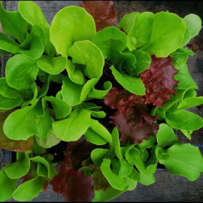 Mixed Lettuce Plants