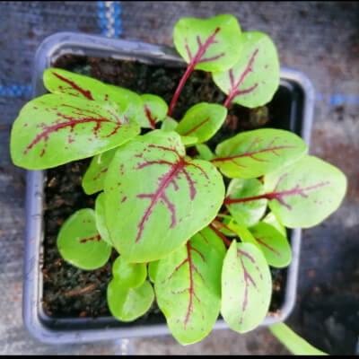 Red Veined Sorrel Plant