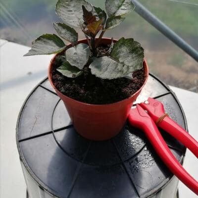 'Lucky Dip' Dahlia Plant
