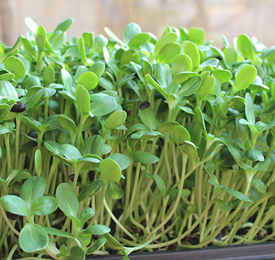 Sunflower Shoot Microgreens
