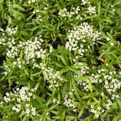 Plants  -  White Alyssum