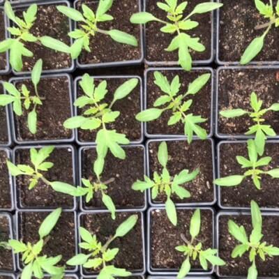 Tomato Plants- Salad Varieties